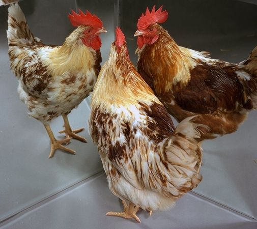 Gynandromorph Chicken -photo by Roslin Institute @ Univ. of Edinburgh