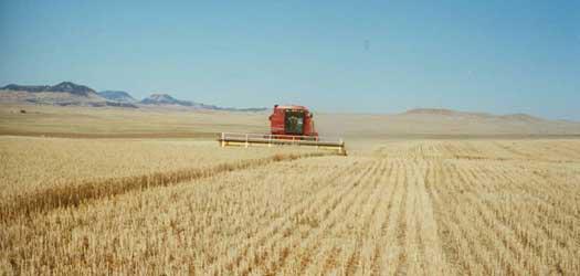 Grain Harvesting - photo by Montana Flour Company