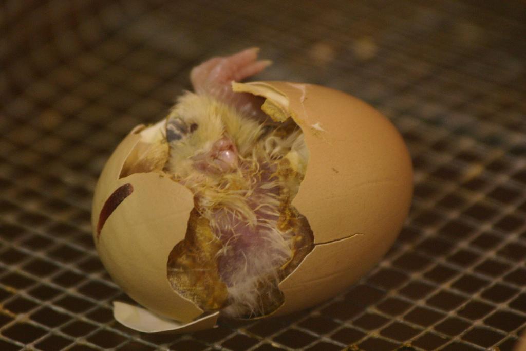 https://upload.wikimedia.org/wikipedia/commons/d/d9/Hatching.jpg